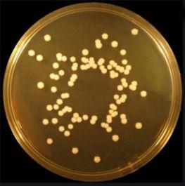Starfrost Microscope Slides